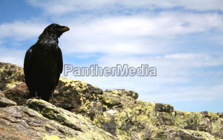 ptak ptaki scavenger zly chory watpliwy