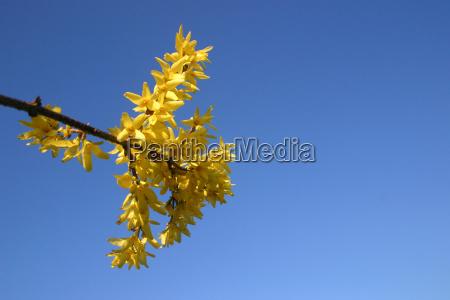 niebieski kwiat platki wiosna krynica krzew