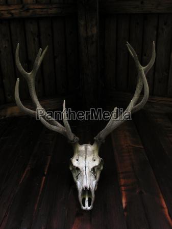czaszka skrzep kosc rotwild red deer