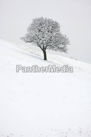 zima zimowy zimno chlod osniezony dab
