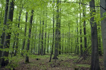 buchenwaldlaswiosna