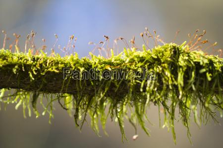 kwitnace wiosna mech na galezi drzewa