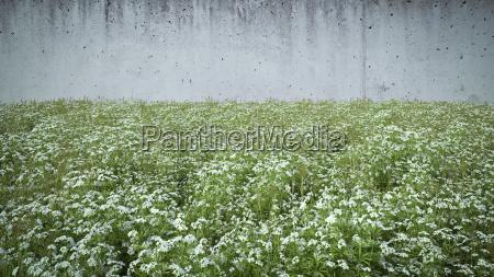 cleaver rosnie przed betonowym murem
