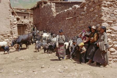 scena wioska z tybetanczykami i ich